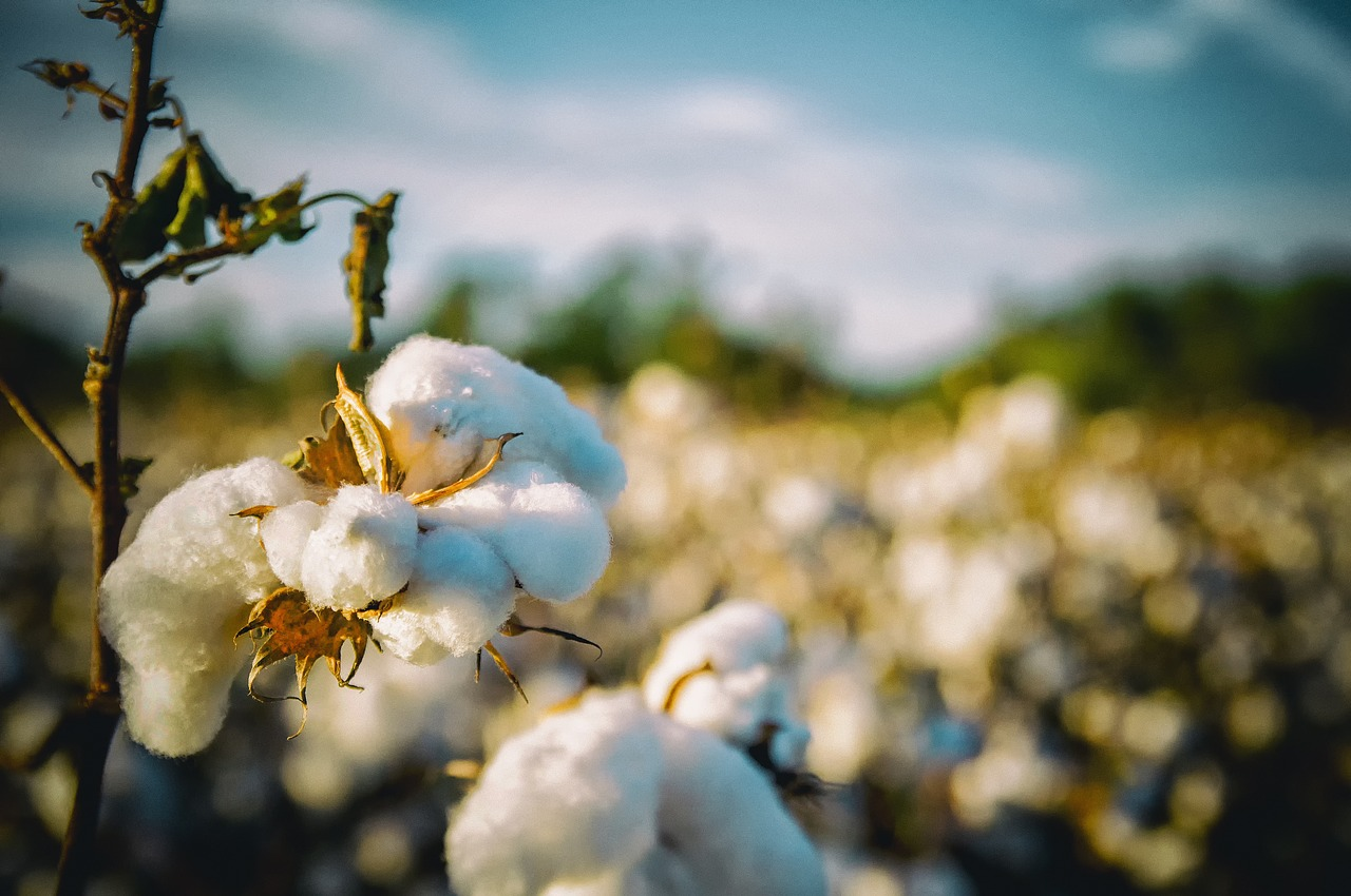 The Impact Of Producing & Using Cotton